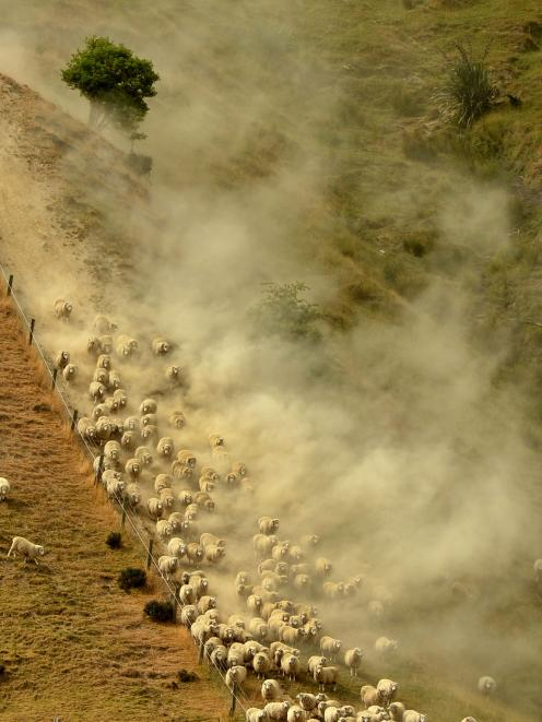 Dust billows as sheep are driven down a fence line near Beaumont at the weekend. Photo by Stephen...