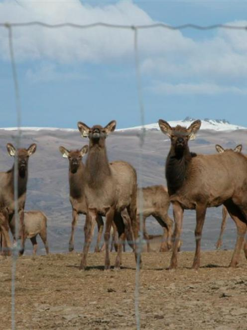 Elk weaners bask in the sun at Clachanburn Station. Photo by Yvonne O'Hara.