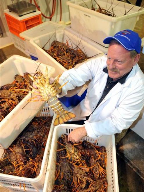Cracker start to crayfish season | Otago Daily Times Online News