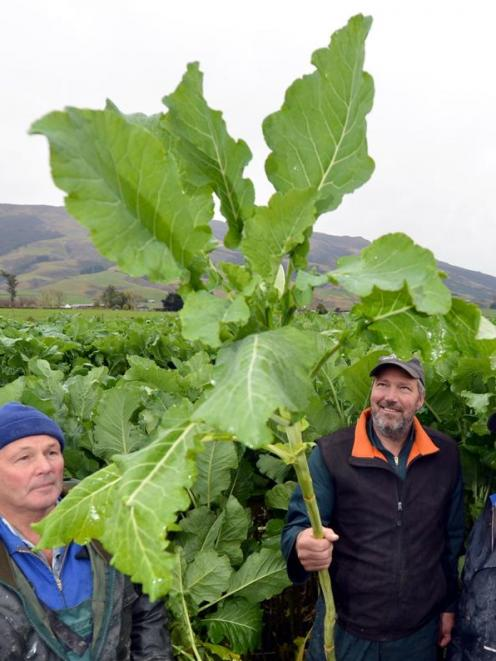 Examining the offerings in a crop-growing competition in a kale paddock at Maungatua yesterday...