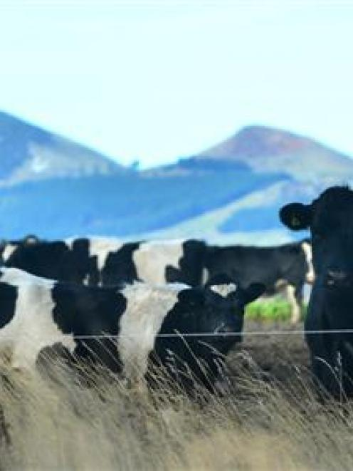 "Federated Farmers is ""not hitting the panic button just yet"" as milk prices tumble. Photo by..."