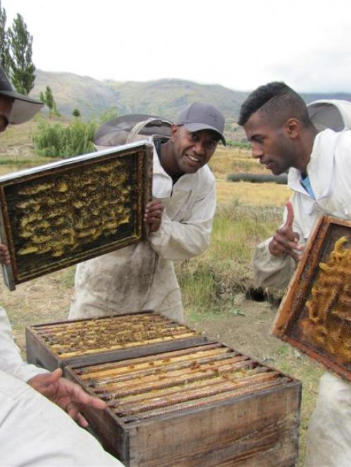 Fijian beekeepers, from left,  Tai Kadavaki (25), Tom Matai (25) and Jeremaia Salu (17) are...