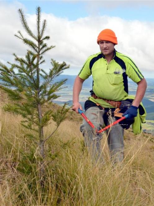 Forestry contractor William Oldham works with a team yesterday to cut out a 200ha planting of...