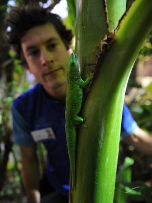Otago Museum living environments co-ordinator Scott Kerr looks at a 6-year-old male Madagascan...