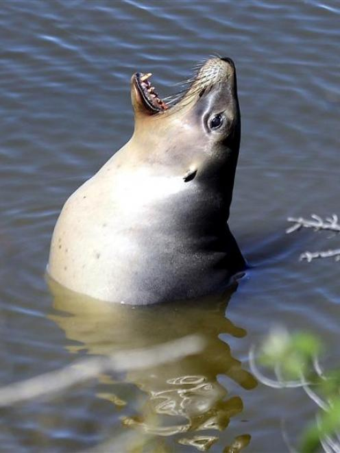 Gem, the sea lion, in the Tomahawk Lagoon yesterday. Below: Gem on the Chisholm Park Golf Course...