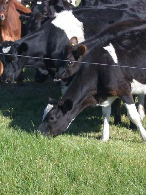 Grazing dairy cows and young stock are a key to Paul Kane's Hawea Flat farm. Photo by Neal Wallace.