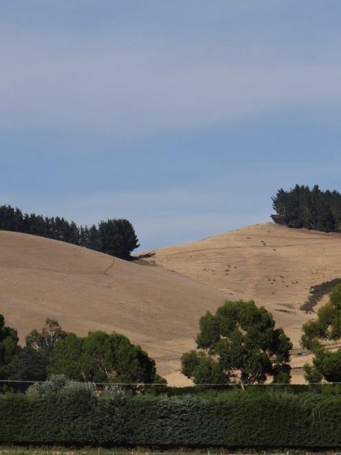 Hills around Hawarden and Waikari, in the Hurunui district, are getting dryer by the day as three...
