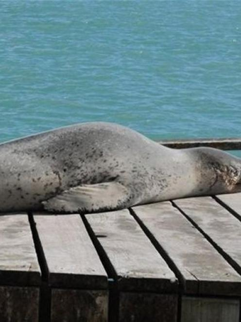 Holidaying . . . A leopard seal suns itself on the slipway at the harbour near Oamaru's Blue...