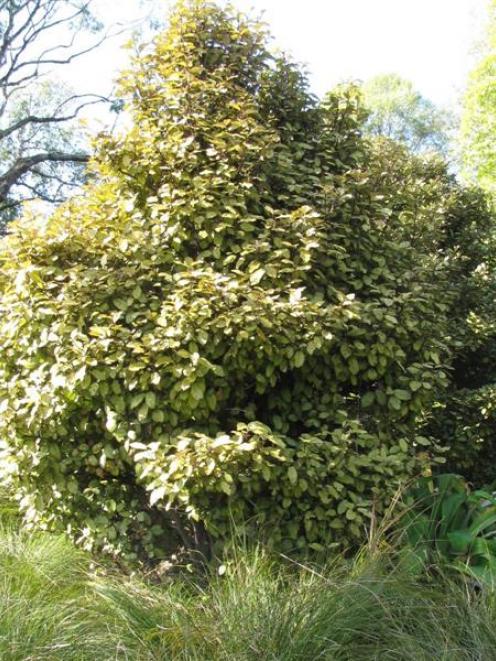 Horopito (Pseudowintera colorata, or pepper tree). Photo by Peter Dowden.