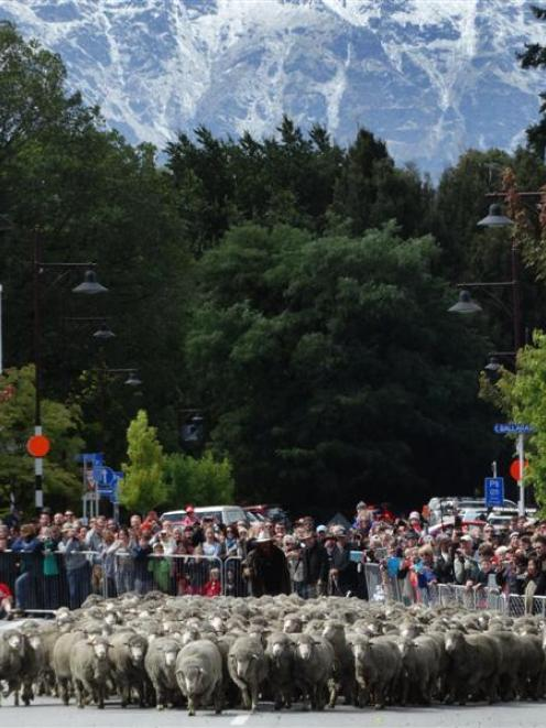 Hundreds of merinos surge down Beach St in central Queenstown yesterday during the Running of the...