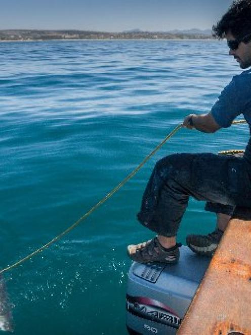 International white shark expert, marine explorer and film-maker Ryan Johnson tags a shark off...