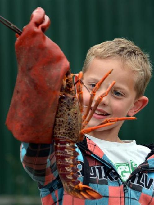 Jack Gallie (6), of Arrowtown, checks out a crayfish during the weigh-in of the Brighton Club...