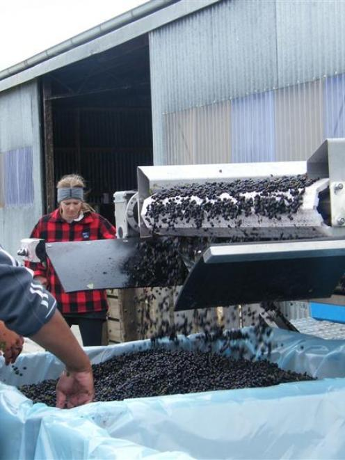 Jason Fruean keeps an eye on blackcurrants as they come off the rollers used to separate leaf...