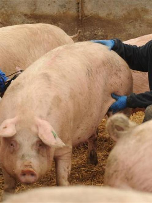 Jimmy Malit (left) and Michael Silan conduct a pregnancy test at the Bloem family's pig farm....