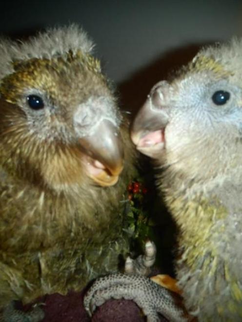 Kakapo chicks Lisa1 (left) and Rakiura2 will be joined by Heather1 at Arrowtown's Athenaeum Hall...