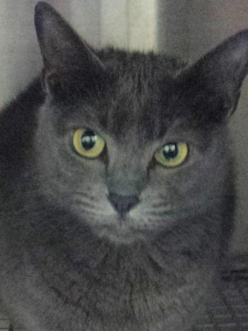 Kush, a four-year-old Russian Blue, is seen in a cage at the local police station after her owner...