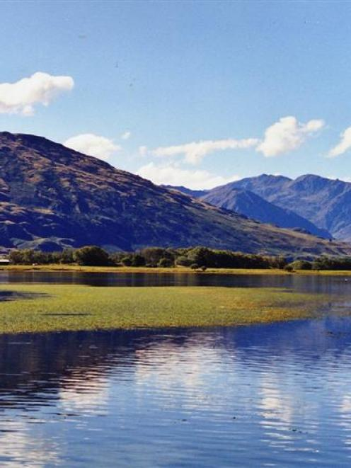 Lagarosiphon in Paddock Bay, Lake Wanaka, in 2001.  The bay now boasts clear water  after the...