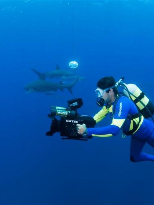 Leading shark scientist Ryan Johnson films among sharks for a documentary. Photo Fiona Ayerst