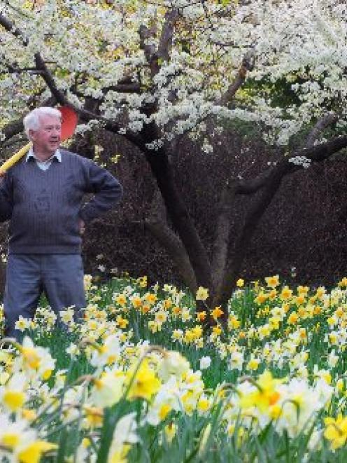 "Les Cleveland in a daffodil block at his home ""Cleveland Park"", on Saddle Hill. Photo by Craig..."