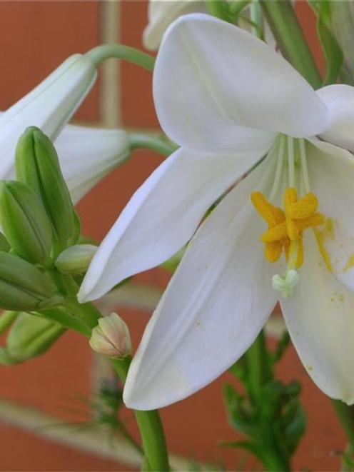 Lilies can be planted in rich, well-drained, lime-free soil, giving the bulbs a chance to settle...