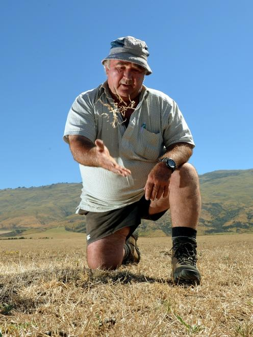 Lindsay Carruthers inspects one of the dry and dusty paddocks on his Strath Taieri farm yesterday...