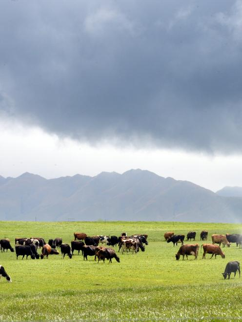 Lower milk production and lack of feed could create dire financial conditions for farmers. Photo...