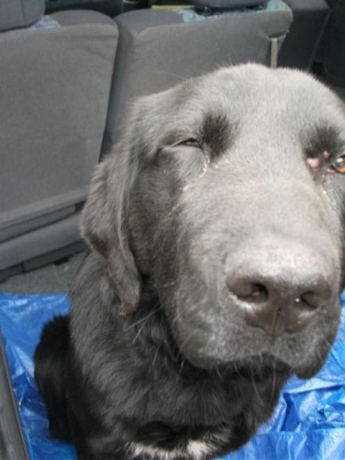 Mana the Labrador, who was returned to his owner after being taken and possibly used in a...
