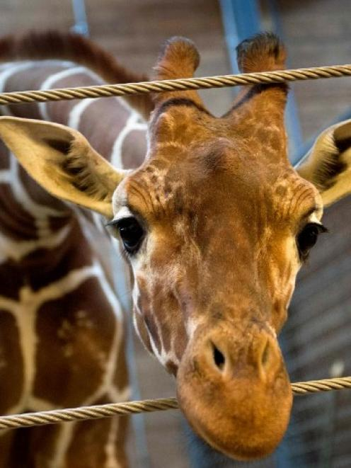 Marius the giraffe at Copenhagen Zoo before being killed and fed to lions. REUTERS/Keld Navntoft...