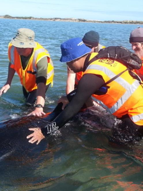 Members of the team attempting to refloat the whales this morning. Photo / Project Jonah