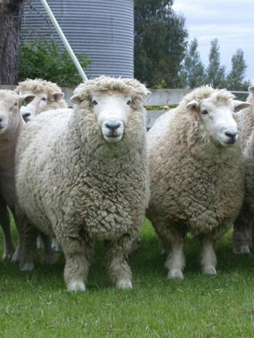 Merrydowns stud Romney and Southdowns rams. Photos by Neal Wallace.
