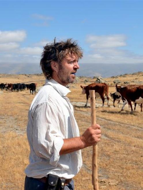 Middlemarch farmer Andrew Templeton moves cattle on his farm as feed for stock dries up. Photo by...