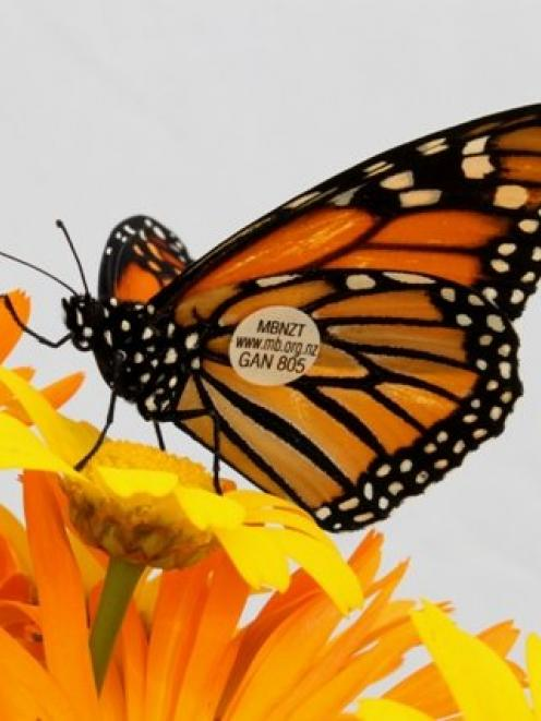 Millions of monarchs migrate to Mexico for the winter. Photo: supplied