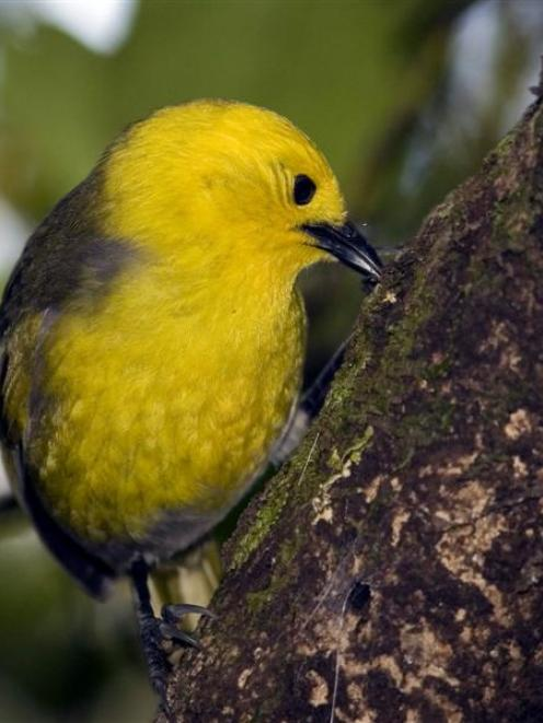 Mohua have been found in the Waikaia Forest. Photo by James Reardon.