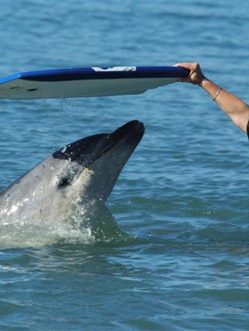 Bottlenose Dolphin Predators   Moko The Dolphin No Sexual Predator Says Supporter Otago Daily