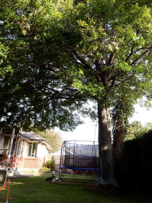 Mosgiel developer Craig Horne wants to fell this oak tree in King St. However, council planners...