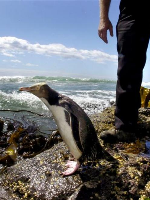 Nature's Wonders owner Perry Reid releases a recovered yellow-eyed penguin into the sea at...