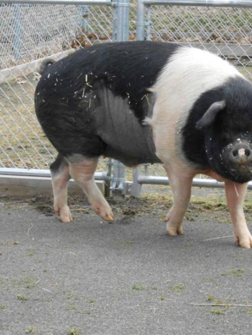 Nemo, a 331kg Hampshire pig, has made history as the first known pig to undergo lymphoma...