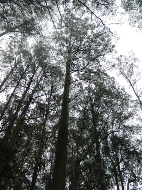 New Zealand's tallest tree, a mountain ash, has reached a height of 80.5m in the Orokonui...