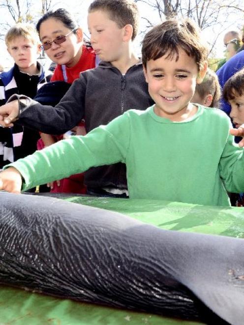 Nikolai Tchesnokov (5) of Dunedin, gets up close and personal with a blue shark at the Otago...