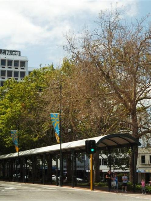 One of the diseased plane trees in the Octagon, Dunedin. Photo by Gerard O'Brien.