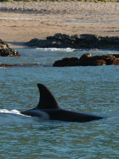 Orcas have been seen coming out of the area where oil has spilled from Rena. Photo by APNZ.