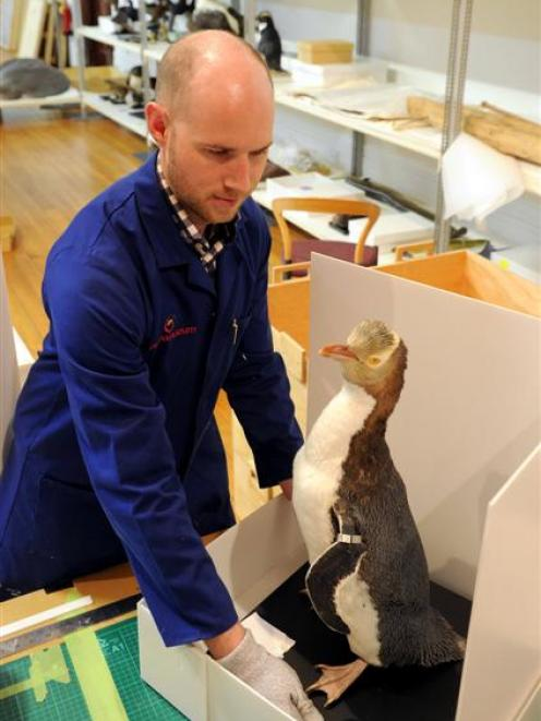 Otago Museum design services officer Murray McGuigan packs a yellow-eyed penguin exhibit to be...