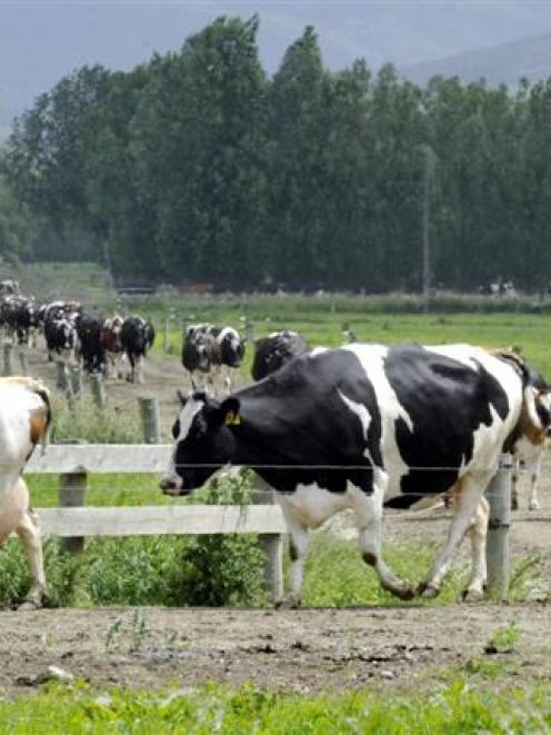 Otago now has 5% of the national dairy cow herd. Photo from ODT files.