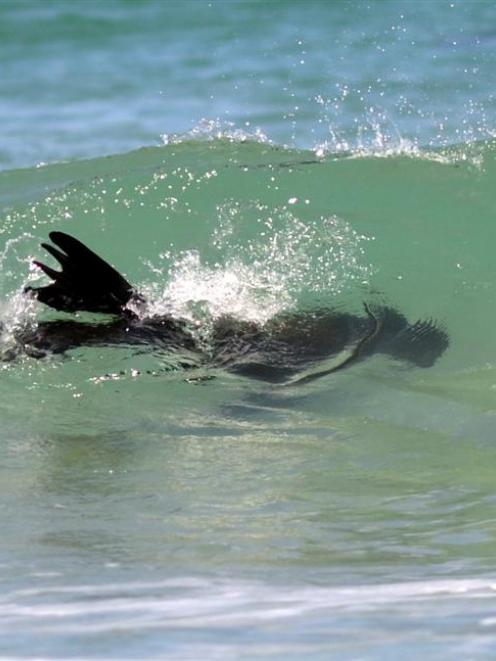 Our fur seal friend returning to the sea. Photo by ODT.