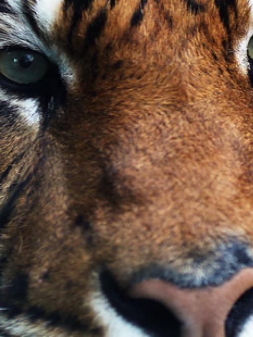 Oz, a male Sumatran tiger, killed a keeper at Hamilton Zoo. Photo: NZ Herald