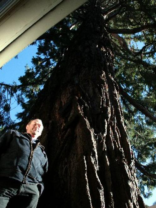 Pact property manager Ferdi Koen demonstrates the size of the gigantic wellingtonia tree growing...