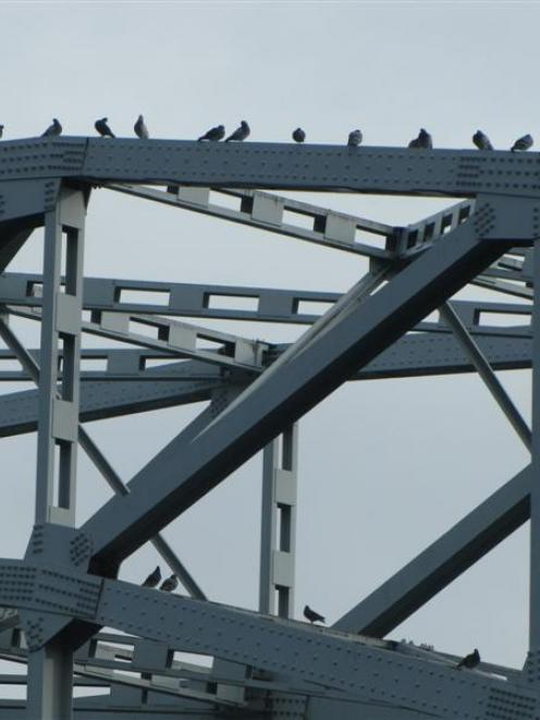 Pigeons roosting on the Alexandra bridge will soon be culled. Photo by Sarah Marquet.