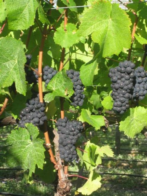 Pinot noir grapes midway through veraison, the colouring and ripening process. Photo from <i>ODT<...