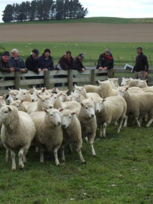 Preston and Tori Hope's award-winning Perendale ewe hoggets were on display at a field day at...
