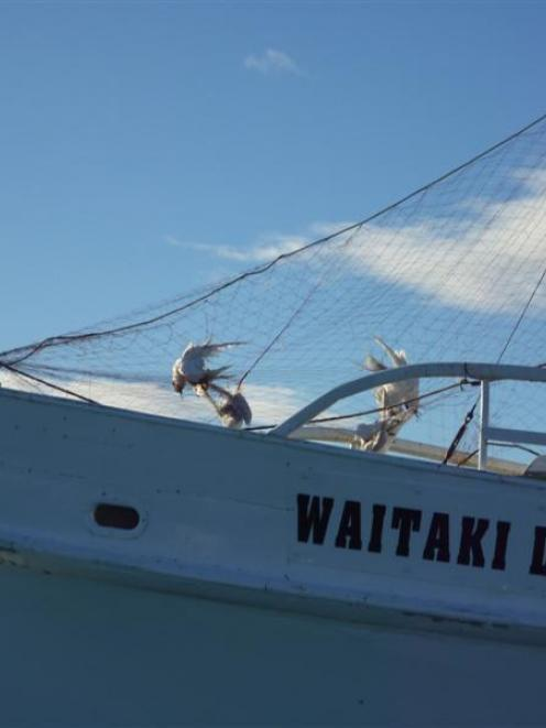 Protected white-fronted terns hang dead from  fishing nets strung up on a boat in Oamaru Harbour....